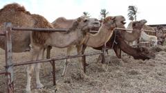Camels munching hay in the stable - stock footage