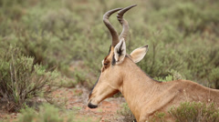 Ruminating red hartebeest Stock Footage