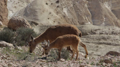 Stock Video Footage of Wild animals in the desert in Israel