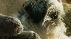 Shih-Tzu turns looking at camera (close up) Stock Footage