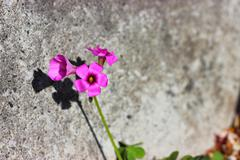 Violet wildflowers on the stone wall Stock Photos