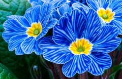 Blue Zebra primrose - stock photo