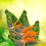 strelitzia flowers on bokeh background - stock photo