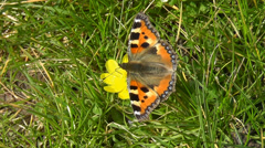 Small Tortoiseshell Butterfly feeding on yellow flower Stock Footage