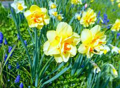 Stock Photo of yellow narcissus (close-up)