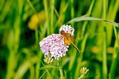 Dragonfly orange on a flower Stock Photos