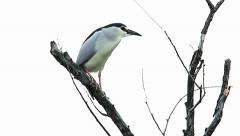 Black Crowned Night Heron Perched in Tree Stock Footage