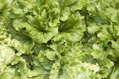 Lettuces Stock Photos