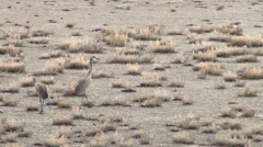 Sand Hill Cranes Stock Footage