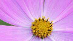 Cosmos flower extreme close-up Stock Footage