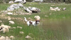 Dog hunting in the lake water Stock Footage