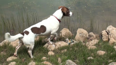 Dog hunting near the lake water Stock Footage