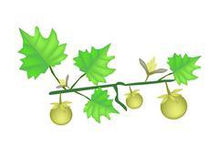 Solanum Stramonifolium Plant on A White Background - stock illustration