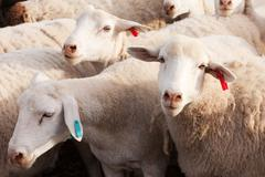 Tagged Dormer sheep in late afternoon Stock Photos