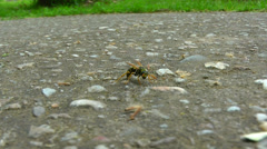 A wasp is standing on a road. Stock Footage