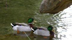 Two ducks on a lake. Stock Footage