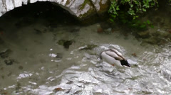 Duck swims and wets its head. Stock Footage
