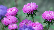 Stock Video Footage of Bright flowers asters
