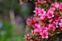 Azalea blooming pink and purple spring flowers. Gardening Stock Photos