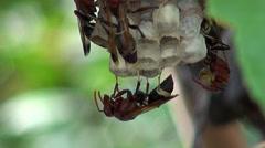 Oriental Hornet (Vespa orientalis, Linnaeus) - 2 Stock Footage