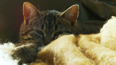 Sleepy cat stares into camera# Stock Footage