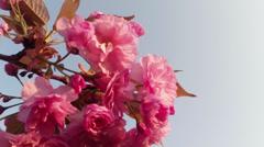 Sakura, lovely pink spring flowers, flowering cherry tree Stock Footage