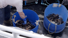Lobster Fishermen with catch, Padstow, Cornwall, UK Stock Footage