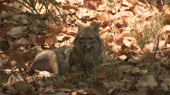 P03475 Golden Jackal at Kanha National Park - stock footage