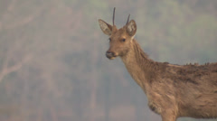 P03435 Young Barasingha at Kanha Park in India Stock Footage