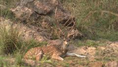 P03456 Axis or Spotted Deer Buck in India Stock Footage