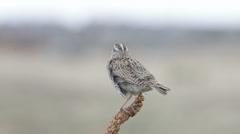 A Western Meadowlark displaying its beauty, Littleton, Colorado Stock Footage