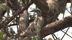 P03415 Indian Grey Hornbill Stock Footage