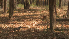 P03474 Jackal in Forest at Kanha National Park - stock footage