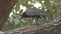 Large-billed Crow in India Stock Footage