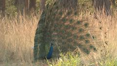P03445 Male Peafowl aka Peacock in Full Feather Display Stock Footage