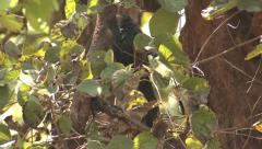 P03453 Greater Coucal Bird in Tree in India Stock Footage