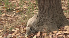 P03419 Grey Langur Monkeys Playing in Slow Motion Stock Footage