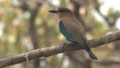 P03414 Colorful Indian Roller Bird on Branch in Jungle Stock Footage