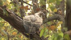 P03427 Honey Buzzard at Kanha National Park in India Stock Footage