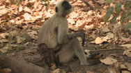 Stock Video Footage of P03455 Baby Langur Monkey Getting Mom's Attention