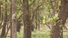 P03418 Slow Motion of Langur Monkeys Jumping Between Trees Stock Footage