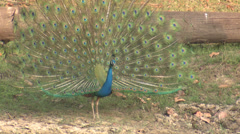 P03461 Peacock in Full Display of Tail Feathers Stock Footage