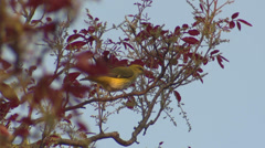 P03467 Eurasian Golden Oriole Songbird in India Stock Footage