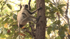 P03426 Langur Monkey and Baby in Kanha National Park Stock Footage