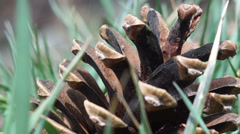 Pine cone in grass Stock Footage