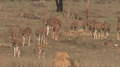 P03444 Herd of Axis Deer in India Stock Footage