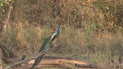P03462 Peacock ie Male Peafowl on Branch in India Stock Footage