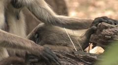 P03421 Langur Monkey Feet Hands and Face Stock Footage