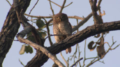 P03468 Jungle Owlet in India at Kanha Tiger Reserve Stock Footage