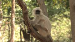P03409 Langur Monkey on Branch in Forest Stock Footage
